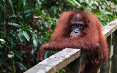 An Incomplete Guide to Borneo's Wildlife : Facts & Photos